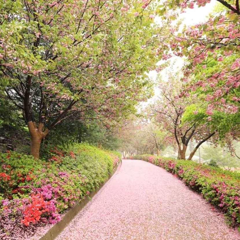 Cherry blossoms litter the path to the Gusang Museum.