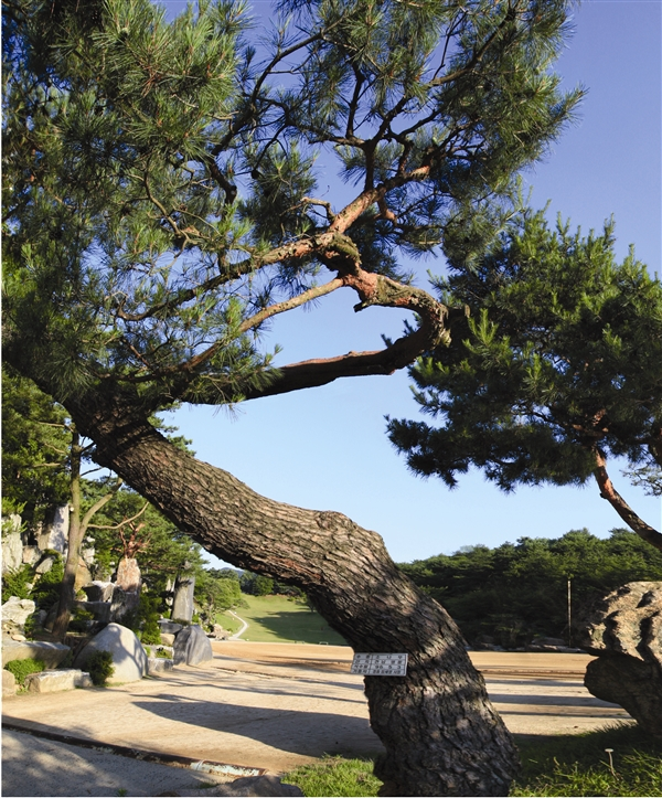 pine tree at the entrance of the sports field