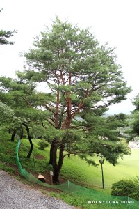 Wolmyeongdong Y-shaped Pine 2