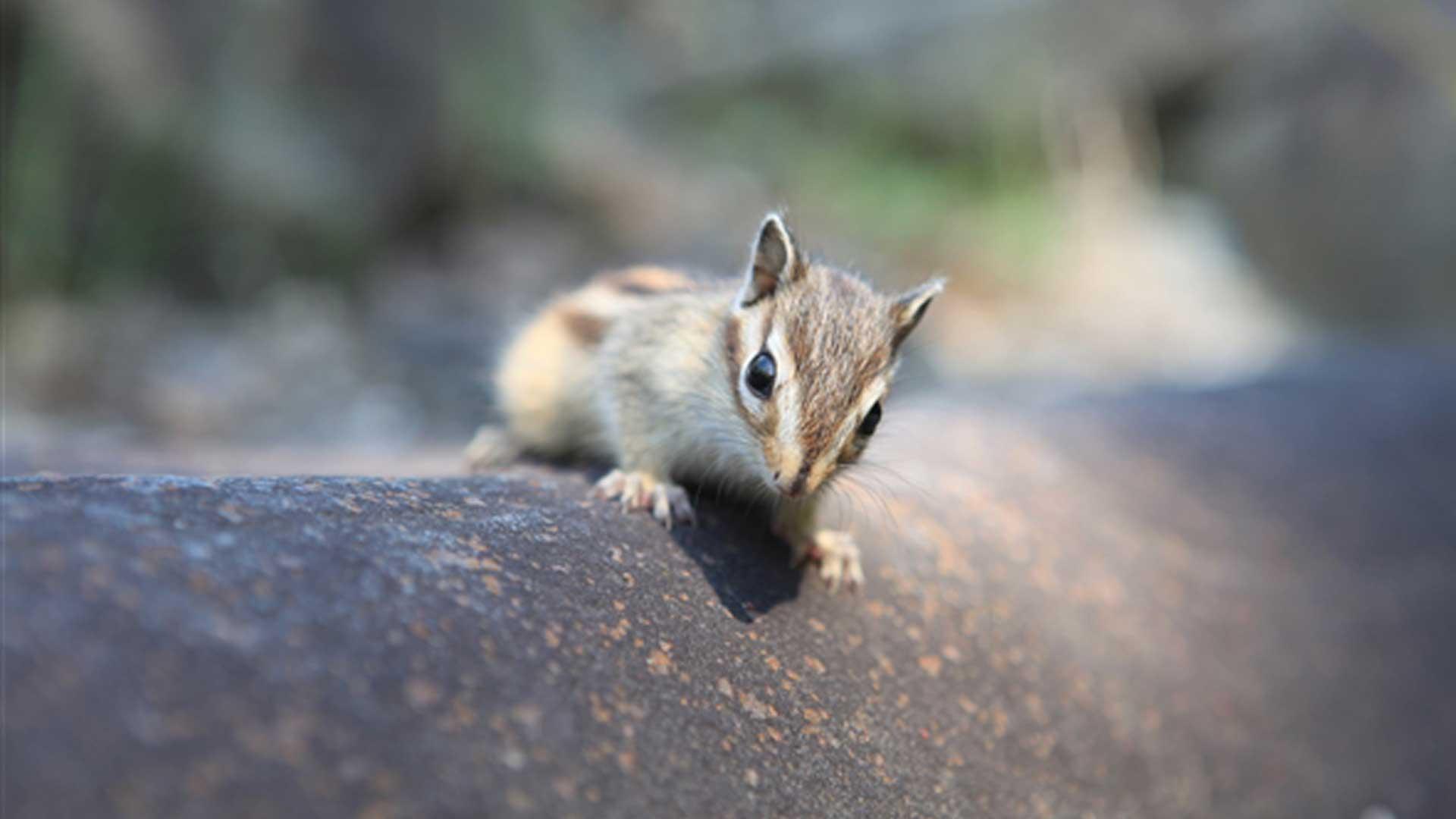 A squirrel crawls closer to a camera in Wolmyeongdong, Korea