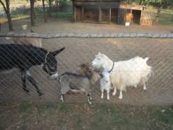 l'âne noir et les chèvres