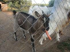 Chevreau mange une carotte