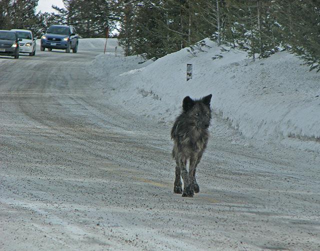 mange-wolf-near-blacktail-plateau-road-2.jpg