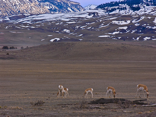 Pronghorn graze on essentially nothing near site of Cinnabar. Copyright Ralph Maughan