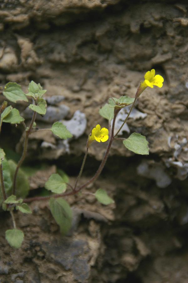 """Mimulus patulus - """"Stalk-leaved Monkeyflower"""""""
