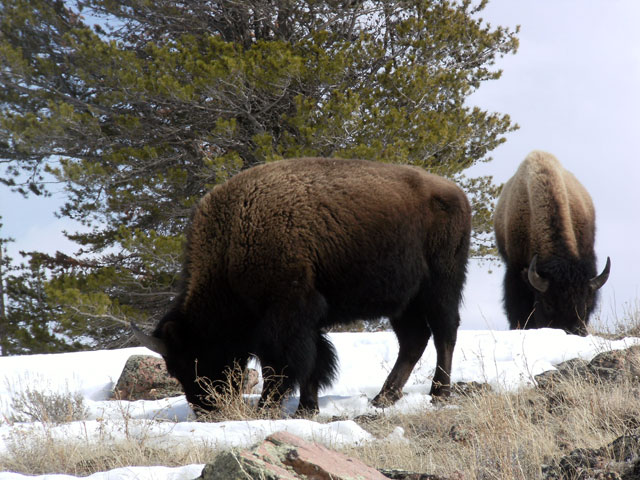 A couple of young bulls close by ©Buffalo Field Campaign