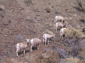 Bighorn Sheep in the East Fork Salmon River Canyon. Photo © Ken Cole