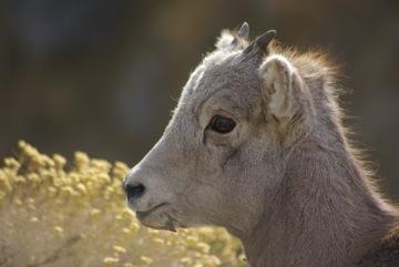 Bighorn sheep lamb © Ken Cole