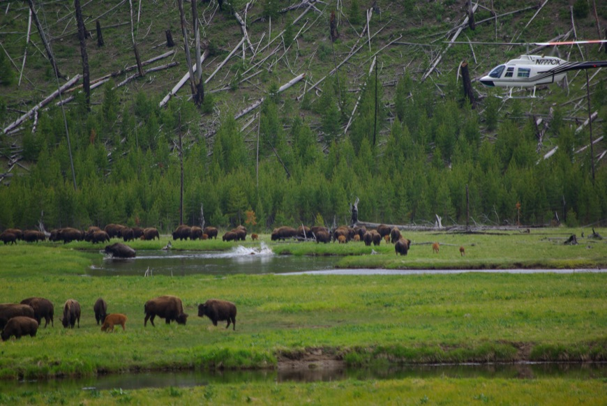 Hazing bison inside Yellowstone National Park on Madison River ©Ken Cole