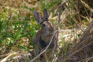 Cottontail Rabbit © Ken Cole
