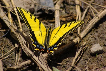 Tiger Swallowtail © Ken Cole