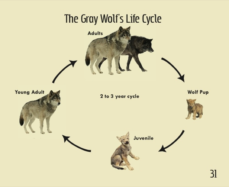 cricket life cycle diagram 7 wire trailer harness of a arctic fox satu stanito com wonderful wolves embryo
