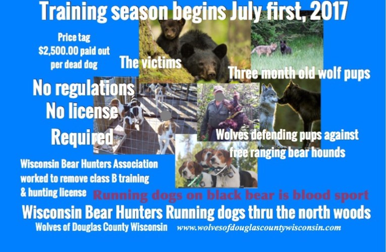 Dogs may be trained statewide by pursuing bear in Wisconsin starting on July first resulting in bloody wolf-on-dog-fights