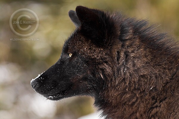 Voyageurs National Park in Minnesota is one of the best mainland parks for spotting active wolf packs.
