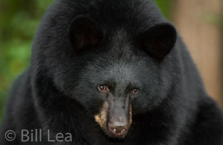 Bear Trust International is a good source for learning about coexisting with bears