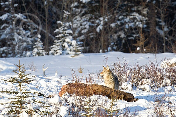 Thinning out coyotes by killing them doesn't work and only leads to more predation on livestock