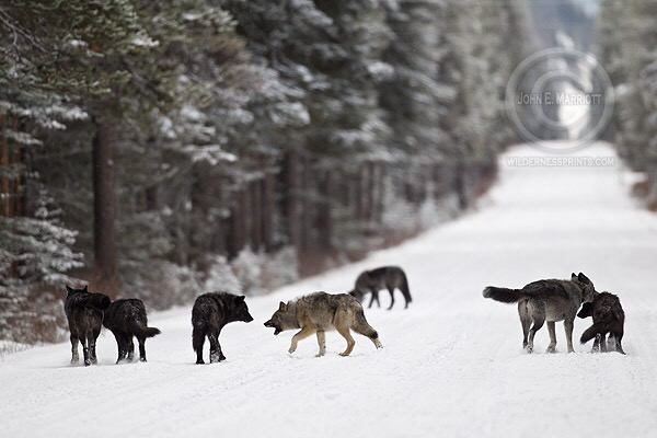 Wolves should remain protected according to a new study from Princeton-UCLA