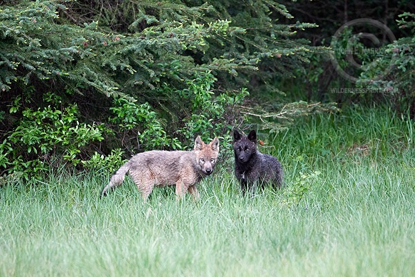 Wisconsin bear hunters and wolves a conflict spanning more than three decades…