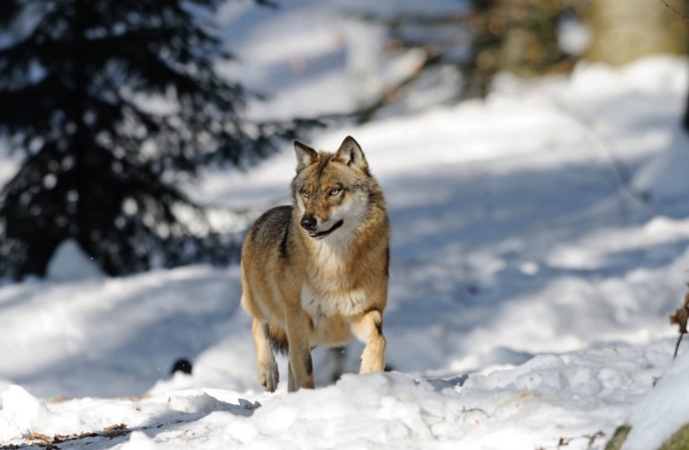 A Humane Nation – Wayne Pacelle's blog: Wolf-killing plans stir in lame-duck session of Congress