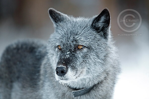 Letter to the editor: We don't need wolf hunting seasons to control wolf depredation