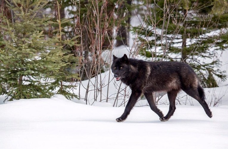 A call for Wisconsin wolf advocates to step forward to protect an endangered species