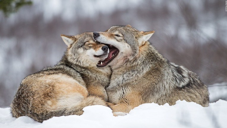 From Earthjustice: Congress Unleashes War on Wolves