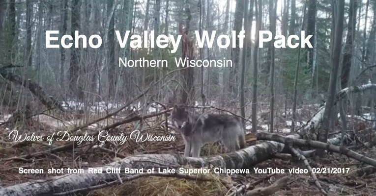 Gray wolves living in Wisconsin's northern forest captured in video