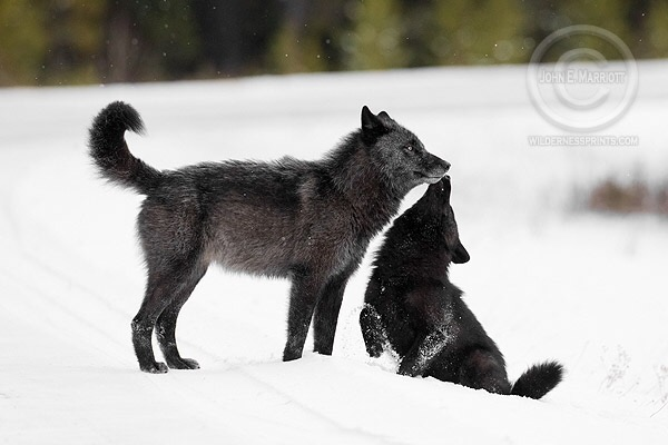 In Wisconsin wolf hunters plan to run dogs on wolves during mating season…