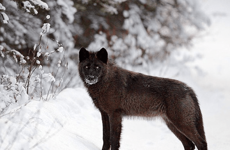 An Open Letter to the White House and Members of Congress from Scientists and Scholars on Federal Wolf Delisting…