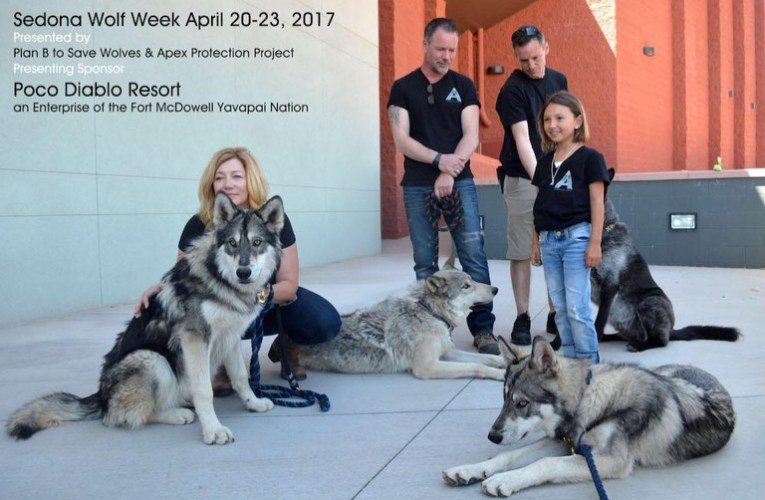Changing the Way the World Sees Wolves, Sedona Wolf Week Launches April 2017