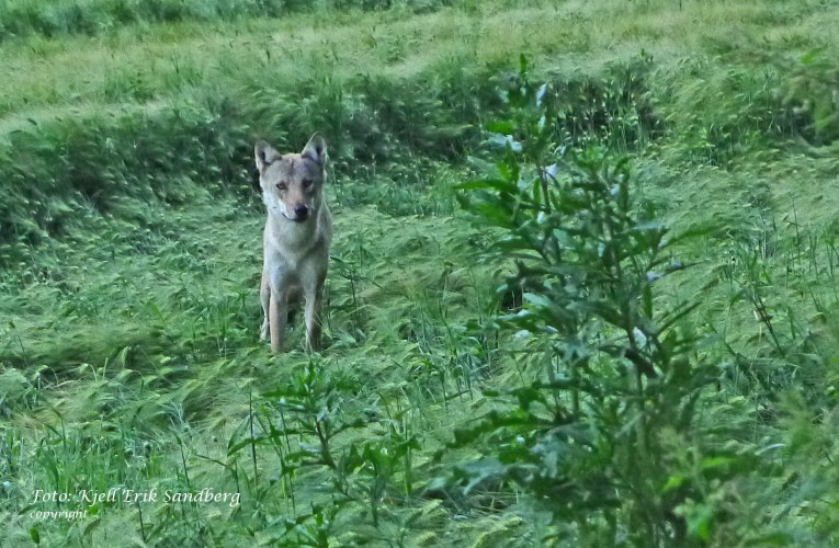 Action Alert: The plight of Norway's small population of wild wolves rests in the hands of politicians