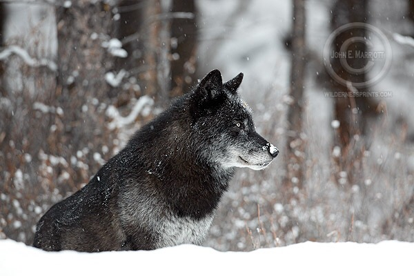 Tremendous momentum by Wolf Summit ll to delist Wisconsin's wolf for a trophy hunt