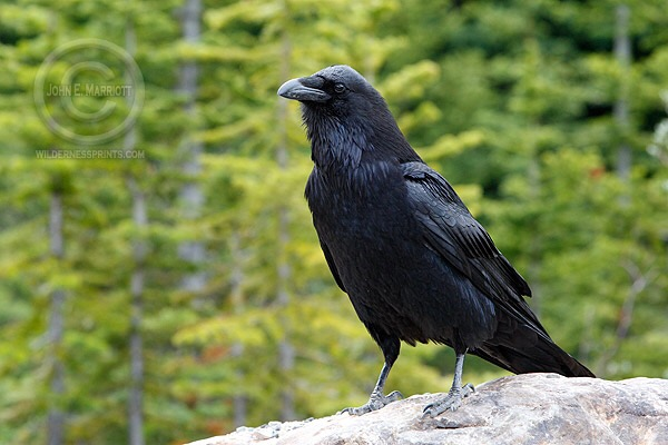 Raven & wolf in the northern Wisconsin forest