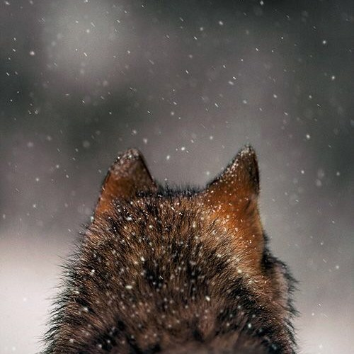 Be the voice for the Gray wolf…