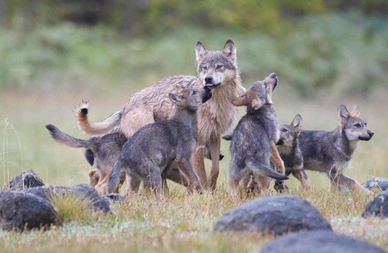 Although the caribou feeds the wolf, it is the wolf that keeps the caribou strong…