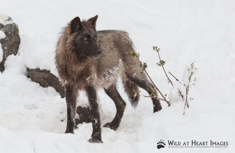 "A Film Project ""Inside the Heart of Wolf Advocacy – The Yellowstone Story"""