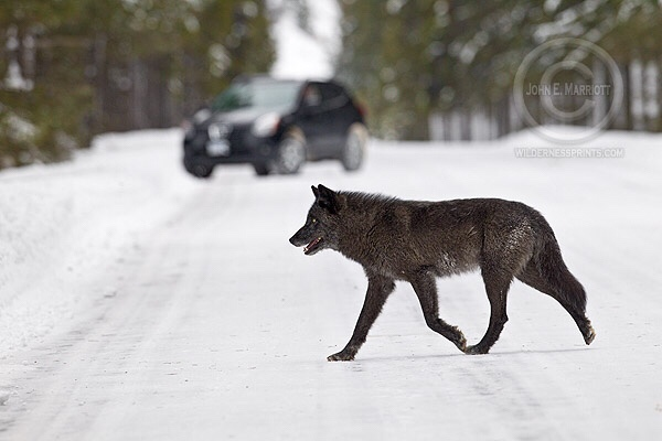 The remarkable Canis lupus (Gray wolf) …