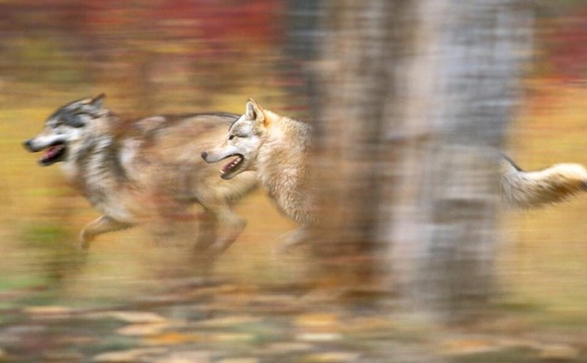 Wisconsin's Elusive Gray Wolf Deserves Our Protection…