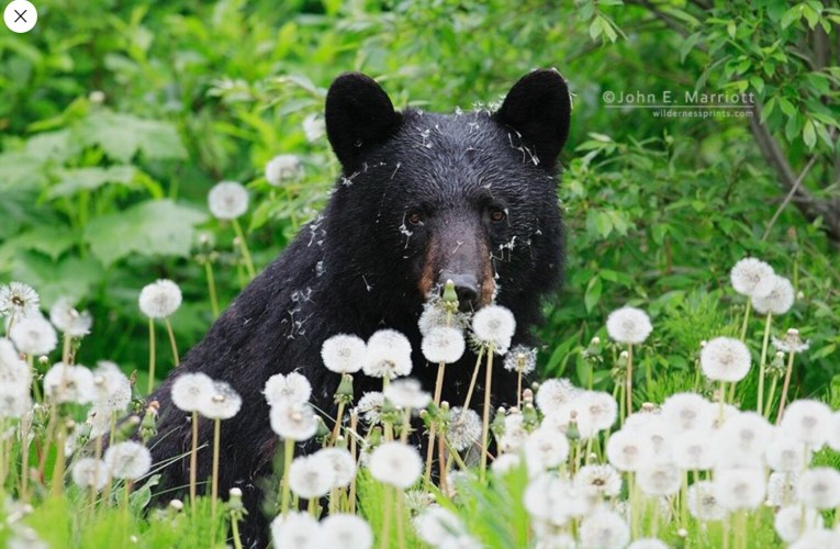 In Wisconsin the Black Bear's Natural Habitat is Under Threat Through Subsidizing Their Food Source for Hunting