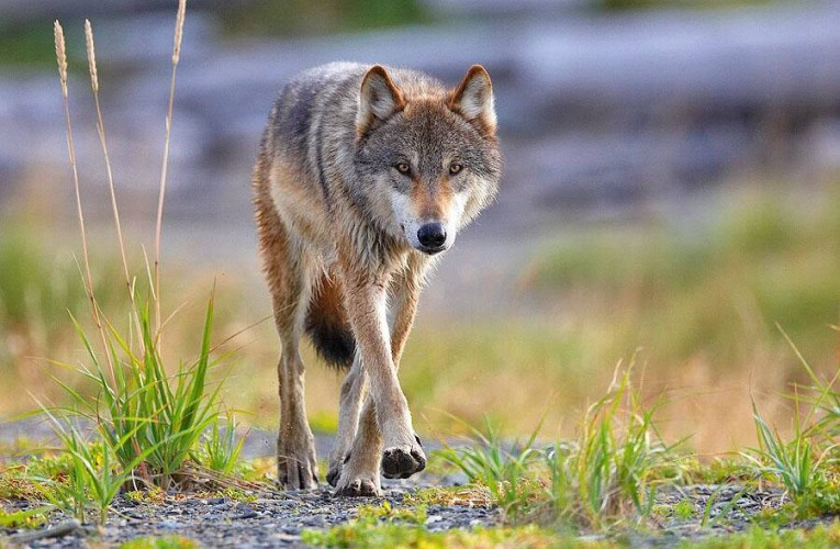 Senator from Wyoming has introduced a proposal that would give states more authority over the Endangered Species Act