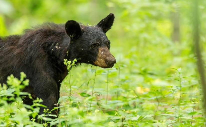 Wisconsin's Black Bear is Being Exploited for the Sole Purpose of Hunting…