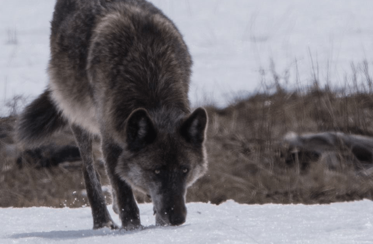 Mournful Calls of the Lamar Canyon Wolves Calling for Their Lost Family Member…