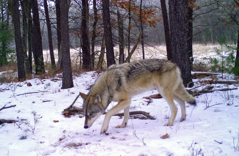 Poaching is and has been one of the biggest causes of Gray wolf mortality in Wisconsin…