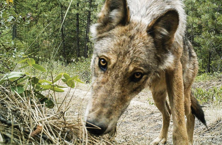 A broken system: Small family farms & Gray wolves are paying the price.