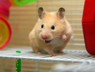 viziunea hamsterului)
