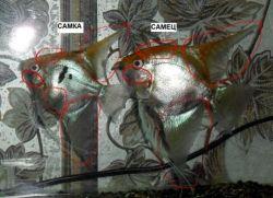 Скалярии отличие самки от самца