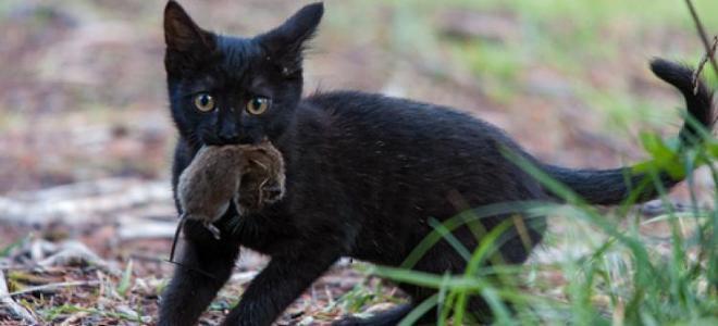к чему снится кот поймал мышь