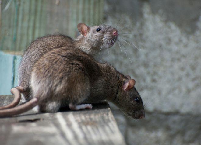 Как прогнать крыс из дома без химии ? как вывести крыс народными средствами ? Домашнее хозяйство ? Другое