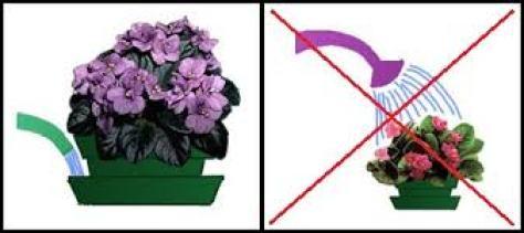 5 секретов выращивания фиалок