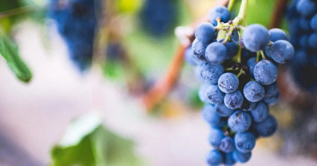 Bible Verses About Grapes